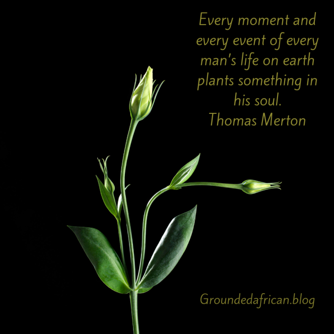 Rose plant in bud. Quote by Thomas Merton